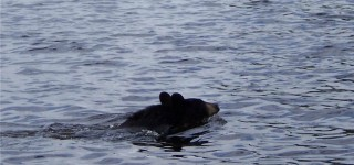 Bear Swimming